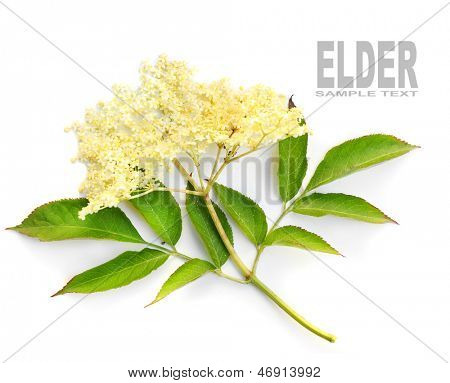 The Elder or Elderberry (Sambucus nigra).The flowers and berries are used most often medicinally against flu and fever, angina, etc.