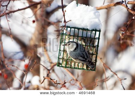White-breasted Nuthatch At Suet Feeder In Winter