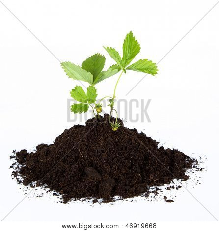 Heap dirt with a green plant on white background poster
