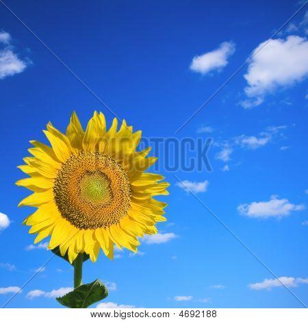 Sunflower On Summer Sky