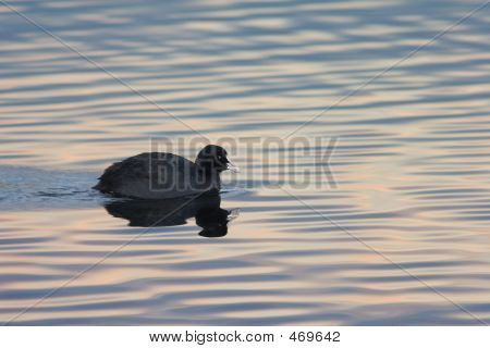Eurasion Coot In The Evening