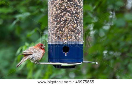 Young Cardinal At Bird Feeder