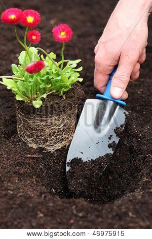 Planting Daisy Seedling