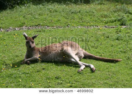 Western Grey Kangaroo (macropus Fuliginosis)