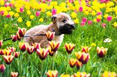 Running dog on tulips (Irish soft coated wheaten terrier) poster