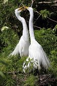 Great Egrets (Ardea alba) performing courtship rituals in the Florida Everglades poster