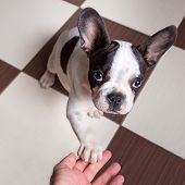 French bulldog puppy giving a paw poster