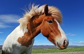 Horse head in Iceland with blue sky poster