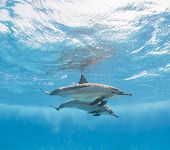 Pair of spinner dolphins just below surface with reflection underwater poster