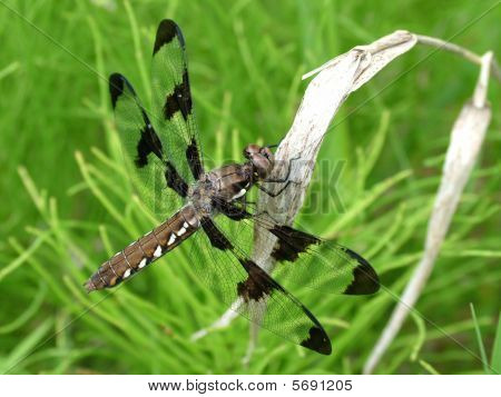 A Common Whitetail dragonfly (Libellula Lydia) resting on a dry leaf. poster
