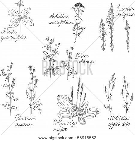 Set of line drawing herbs with Latin names, vector illustration poster