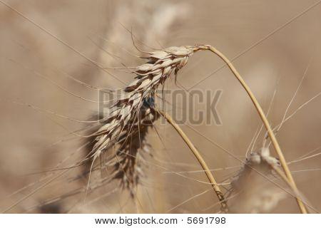 Head of wheat