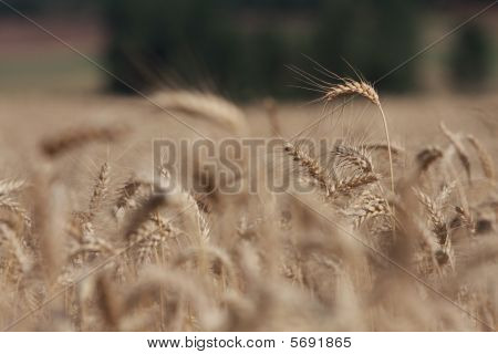 Wheat Standing above the crowd