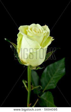 Eco Green Rose Solitarie