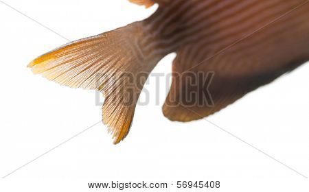 Close-up of a Kole Tang caudal fin, Ctenochaetus strigosus, isolated on white