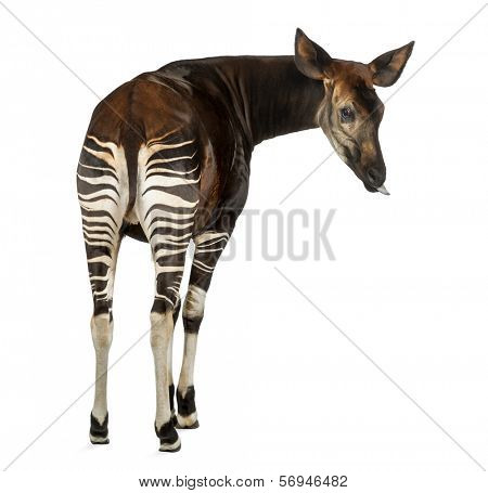 Rear view of an Okapi, looking back, sticking its tongue, Okapia johnstoni, isolated on white