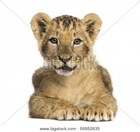 Lion cub lying, looking at the camera, 10 weeks old, isolated on white