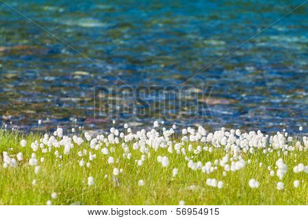 A Lake With Cottongrass In Northern Norway