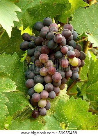 ripening grape cluster on the vine