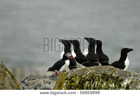 Atlantic Puffin and five razorbills