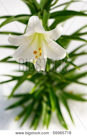 Easter Lily Solitaire Vertical