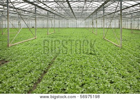 Growing Andive Plants In Glasshouse