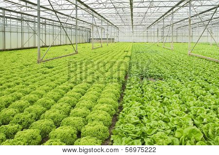 Growing Salad Plants In Glasshouse
