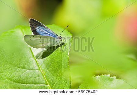 Holly Blue Butterfly Or Celastrina Argiolus