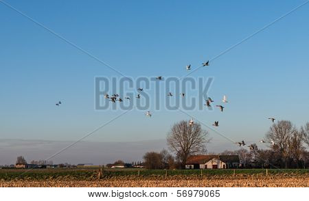 Geese flying away above a stubble field in the low sunlight of the late afternoon in winter. poster