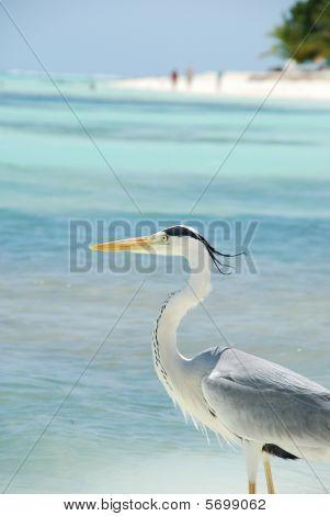 closeup of a Heron on a maldivian island poster