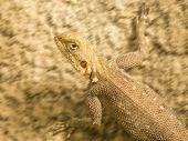 Mimetic lizard running on a sandy soil, Senegal poster