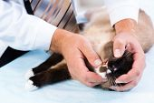 vet checks the health of a cat in a veterinary clinic poster