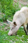 dirty young pig grazing in green ravine poster