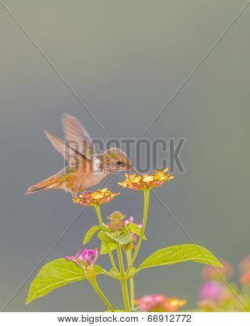 Scintillant Hummingbird Feeding