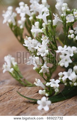 Valeriana Officinalis White Flowers Closeup Vertical