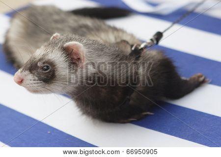 Ferret On Beach