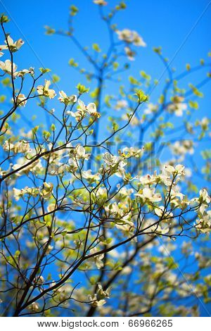White flowering dogwood tree (Cornus florida) in bloom in the blue sky