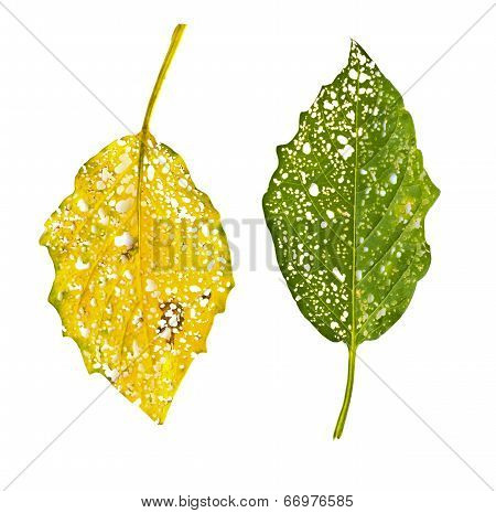 Leaves Eaten By Bugs On White Background