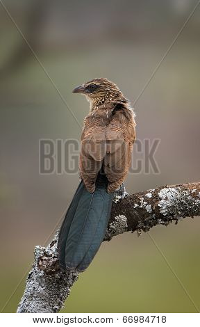 White-browed coucal sitting on a branch, view on backside poster