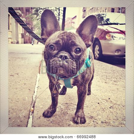 French Bulldog Puppy in NYC