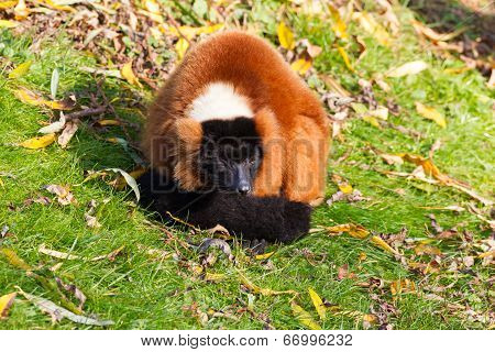 Red Ruffed Lemur Resting