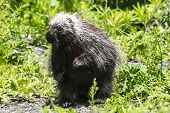 A Female Porcupine cautiously crossing the driveway poster
