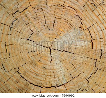 Cross Section View of Tree