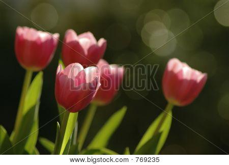 Tulips soaking up the sun