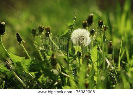 The Dandelion Is Between Green Grass