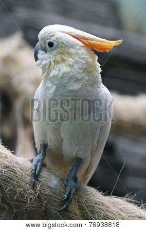 Citron-crested cockatoo (Cacatua sulphurea citrinocristata).