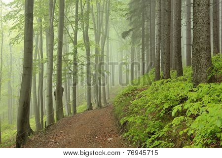 Trail through the foggy spring beech forest