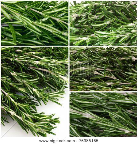 Fresh green rosemary collage