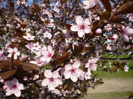 blossoming bough close