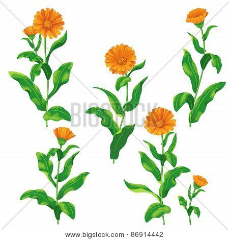 Calendula Flowers Set